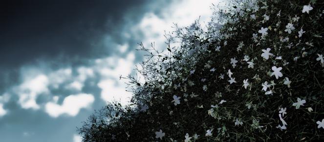 jasmine-1110001_1920